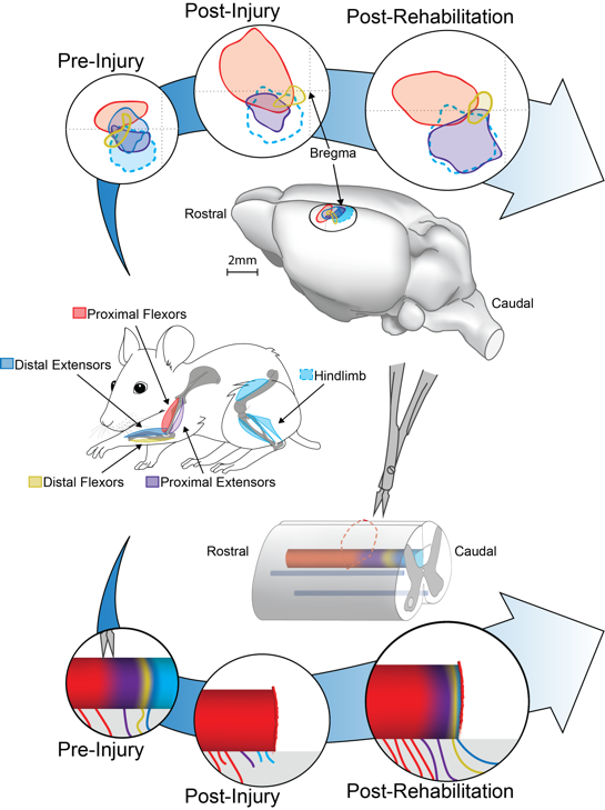 Hollis Lab: Motor cortex plasticity after spinal cord injury.