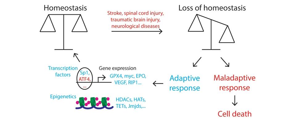 Driving the adaptive response to repair the injured brain.
