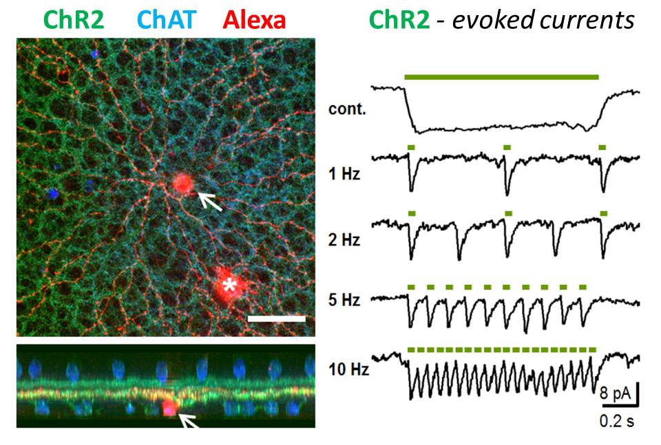 Optogenetic activation of cholinergic neurons in living mammalian retina.